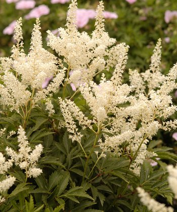 Deutschland Astilbe - Set of Three