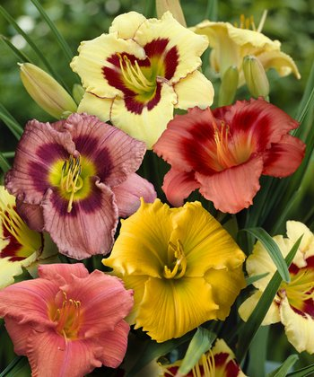 Summer Encore Daylily Collection 5-Piece Set