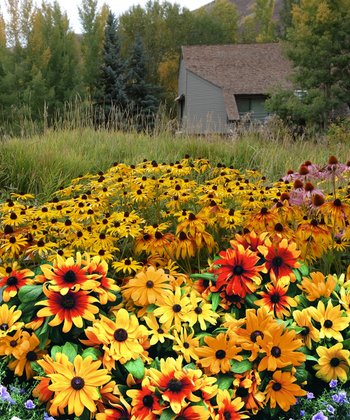 Rudbeckia Summer Daisy 12-Piece Collection