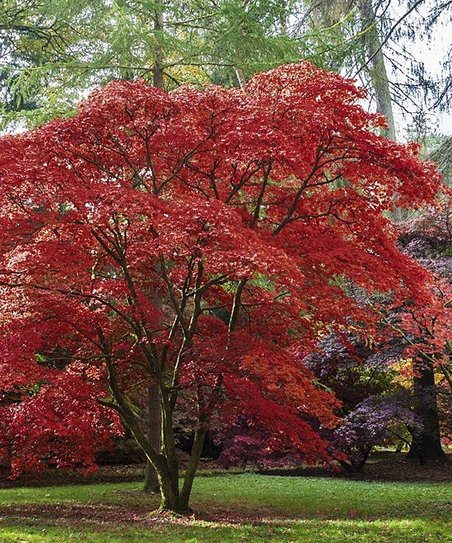 Emperor One Japanese Maple Tree