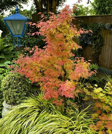 Orange Dream Japanese Maple Tree