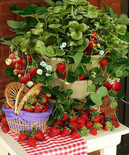 Improved Titan Strawberry Plant - Set of 25