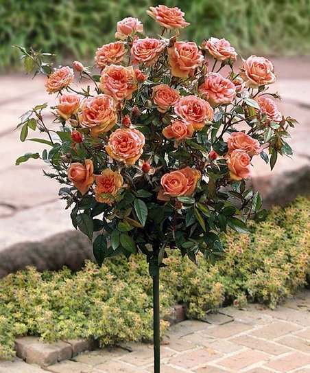 Apricot Spice Rose Tree