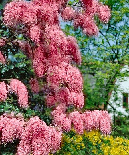 Pink Wisteria Vine