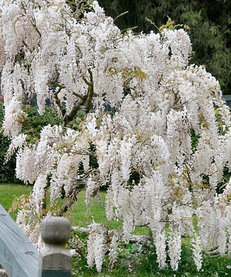 White Wisteria Tree