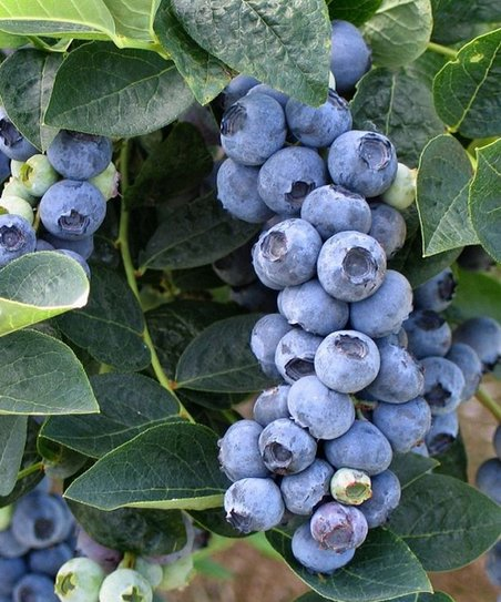 Northern Chandler Blueberry Bush - Set of Two