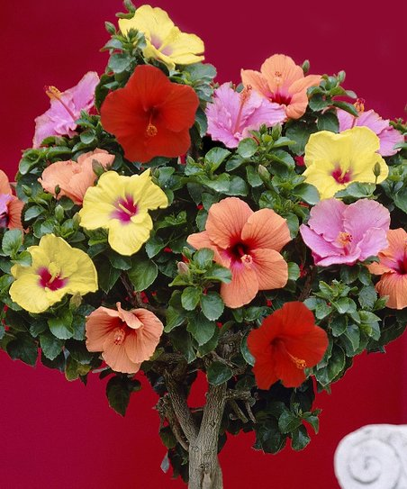 Tropical Braided Hibiscus Tree