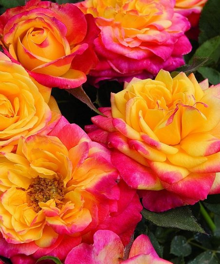 'Rainbow Sunblaze' Rose Tree